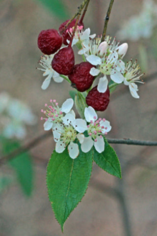 Red chokeberry - Aronia arbutifolia