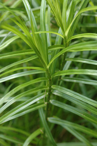 Palm Sedge - Carex muskingumensis