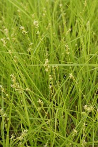 Straight-styled wood sedge - Carex radiata