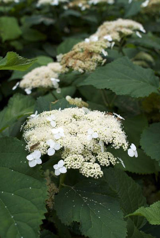 Smooth Hydrangea - Hydrangea arborescens