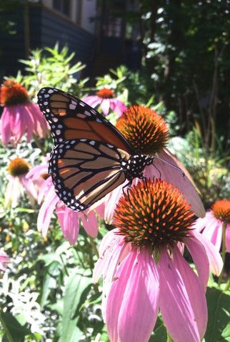 Monarchs & More Sunny Garden Kit