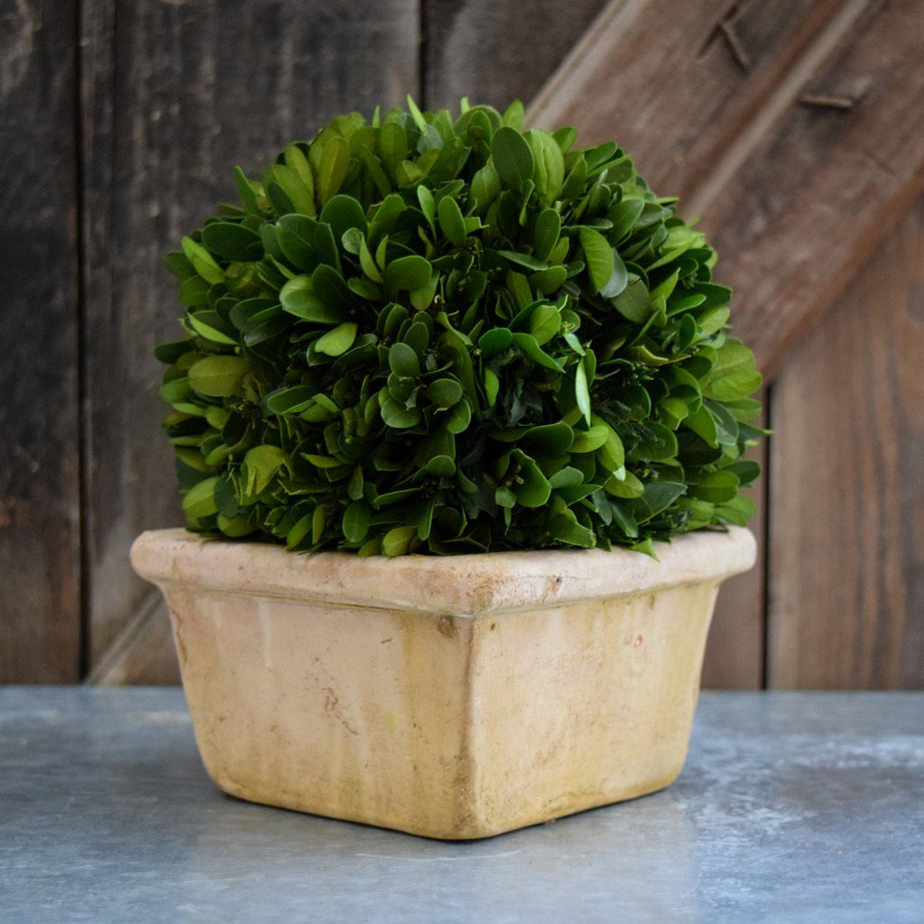 Preserved Boxwood 8 Inch Ball - Square Pot - Bella Marie - 1