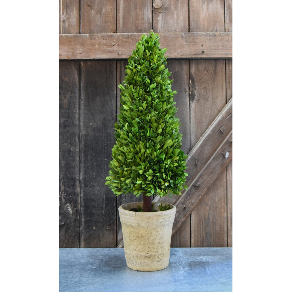Preserved Boxwood Cone Topiary - 30 Inch - Bella Marie