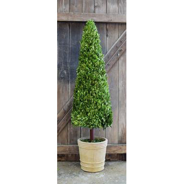 Preserved Boxwood Cone Topiary - 59 Inch