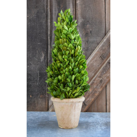 Preserved Boxwood Cone Topiary - 16 Inch