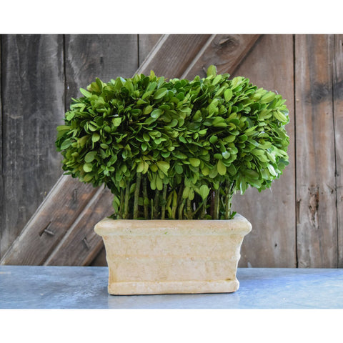 Preserved Boxwood Hedge
