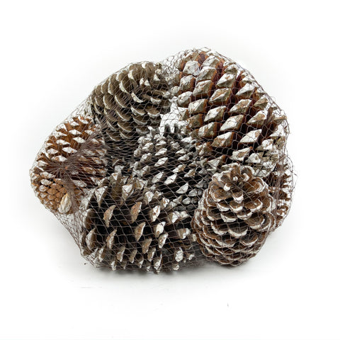 Pine Cone Martima - White Tipped - 12 Pieces