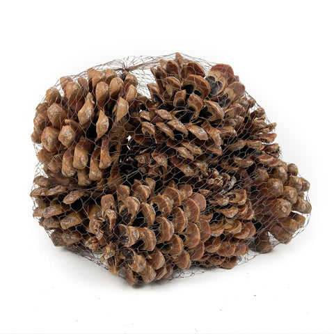 Pine Cone Pinea - Natural - 12 Pieces