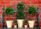 Preserved Boxwood Single Ball Topiaries - 16 Inch (SET OF 2) - Bella Marie - 2