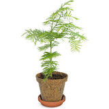 Dawn Redwood Tree to Be Kit