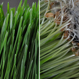 Organic Spring Grass Growing Kit