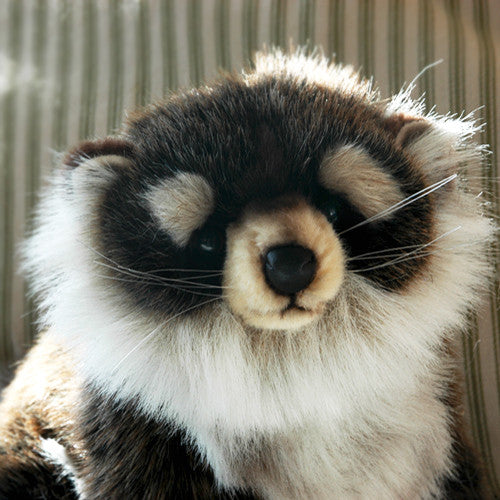 Raccoon Juvenile