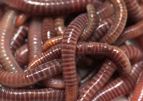 Composting Worms (european nightcrawlers and reds)