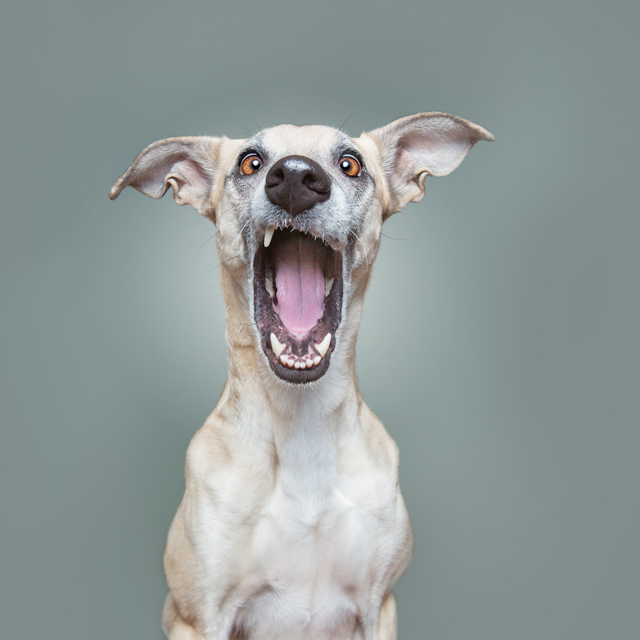 white dog with mouth open ready for treat on gray background