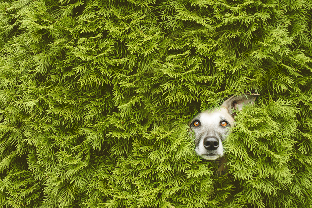 Dog funny sticking head in hedge