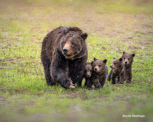 bear with four cubs taken by lydia ripplinger