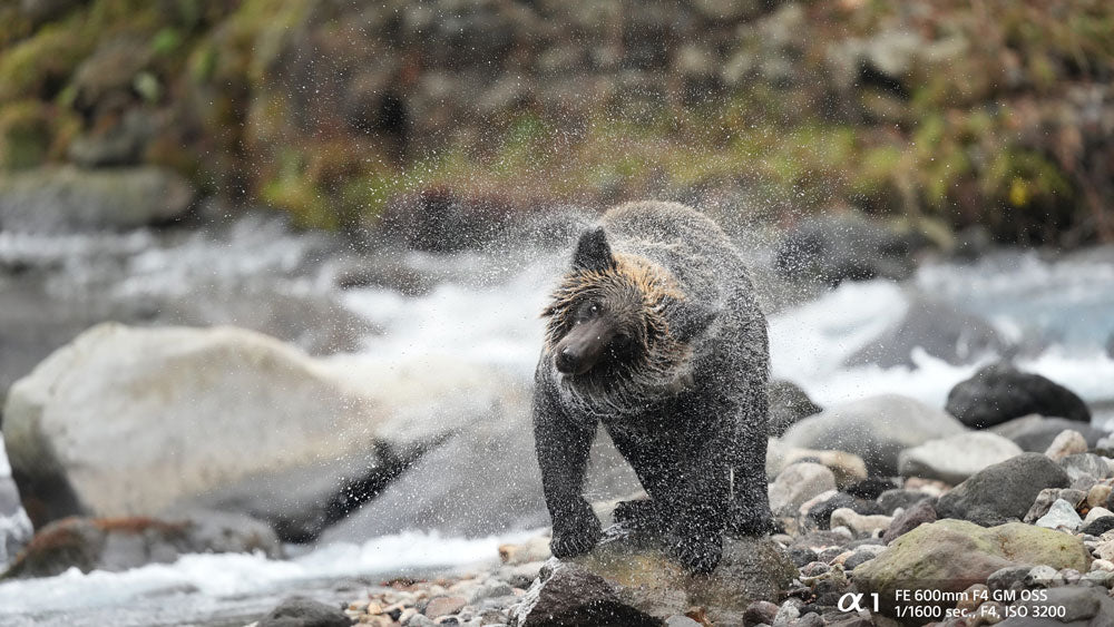Bear in the river shaking