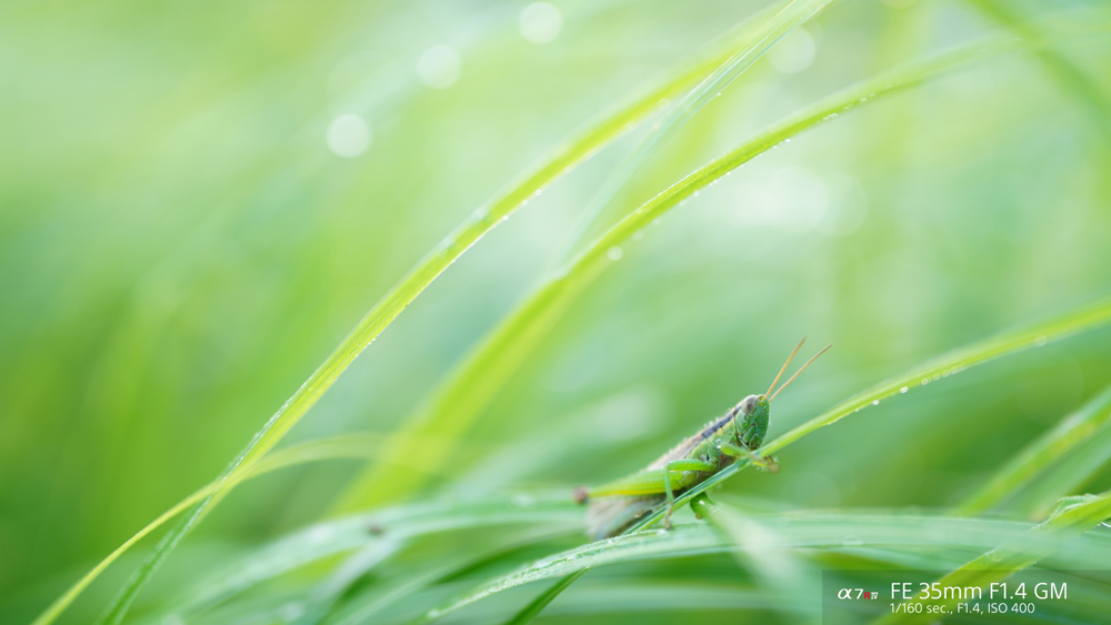 A grasshopper surrounded by green leaves taken with sony fe 35mm f1.4 GM lens