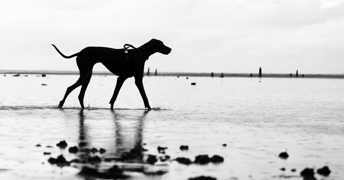 silhouette of great dane taken with canon rf 24-105 F4