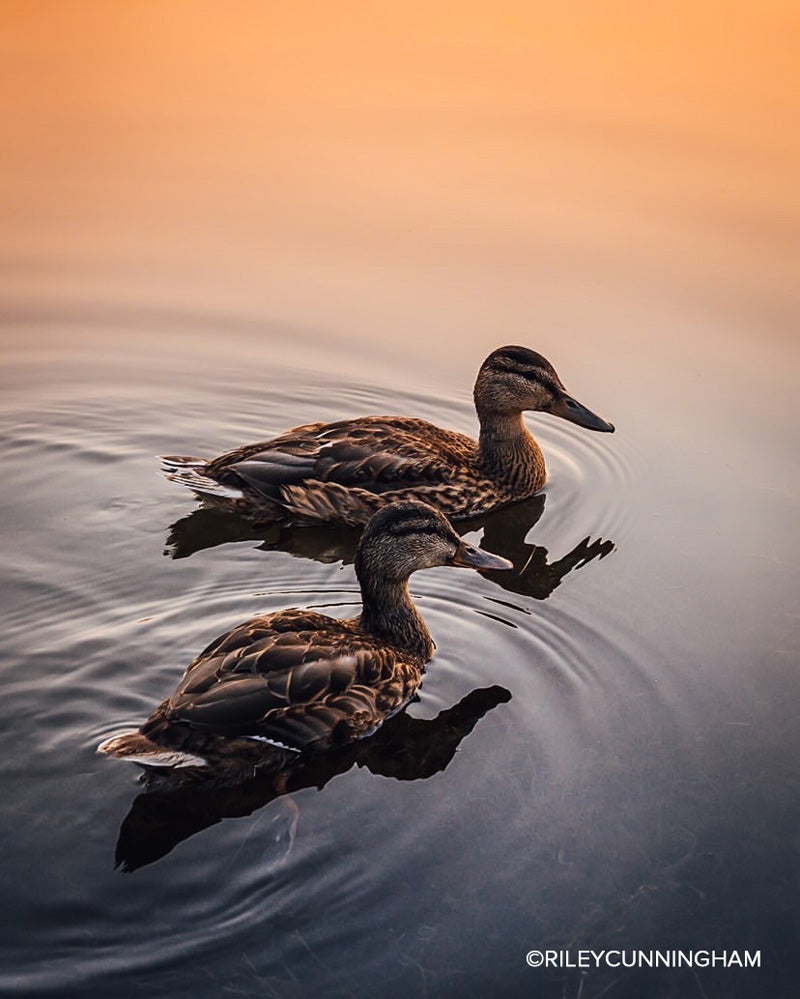 riley cunningham photo of ducks in low light