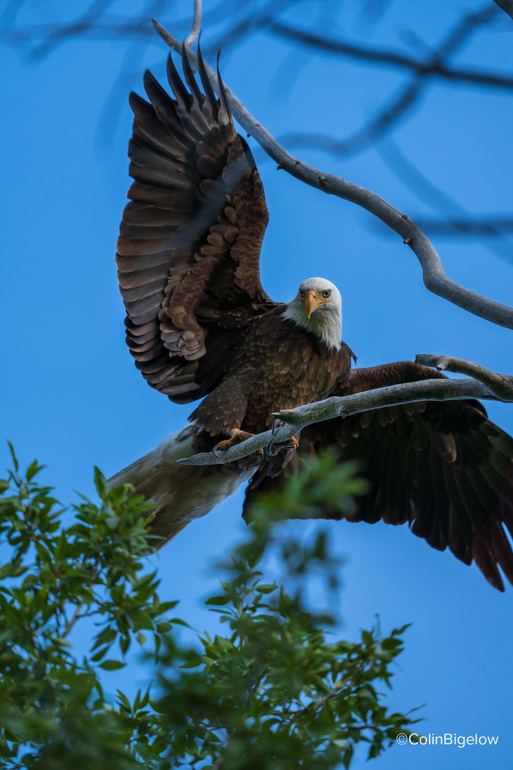 eagle with wings spread out by colin bigelow