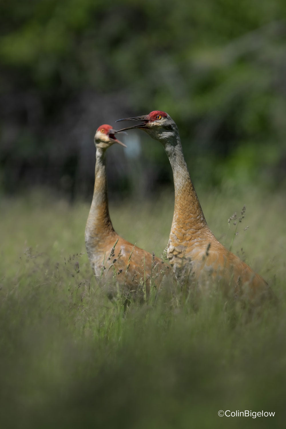 cranes in the foliage by colin bigelow