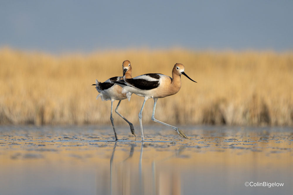 birds frolicking in the shallow water by colin bigelow