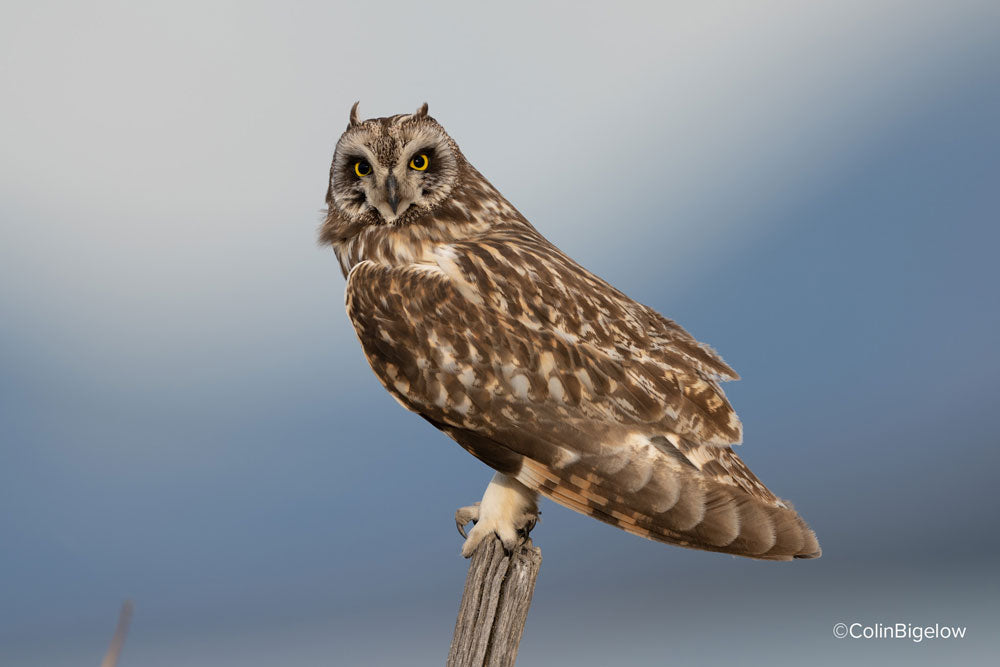 owl sitting on perch by colin bigelow