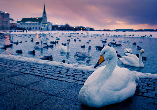 Wild white swans flock by the hundreds to the Pond in downtown Reykjavik. - Wesley Johnson, Iceland Photography Workshop