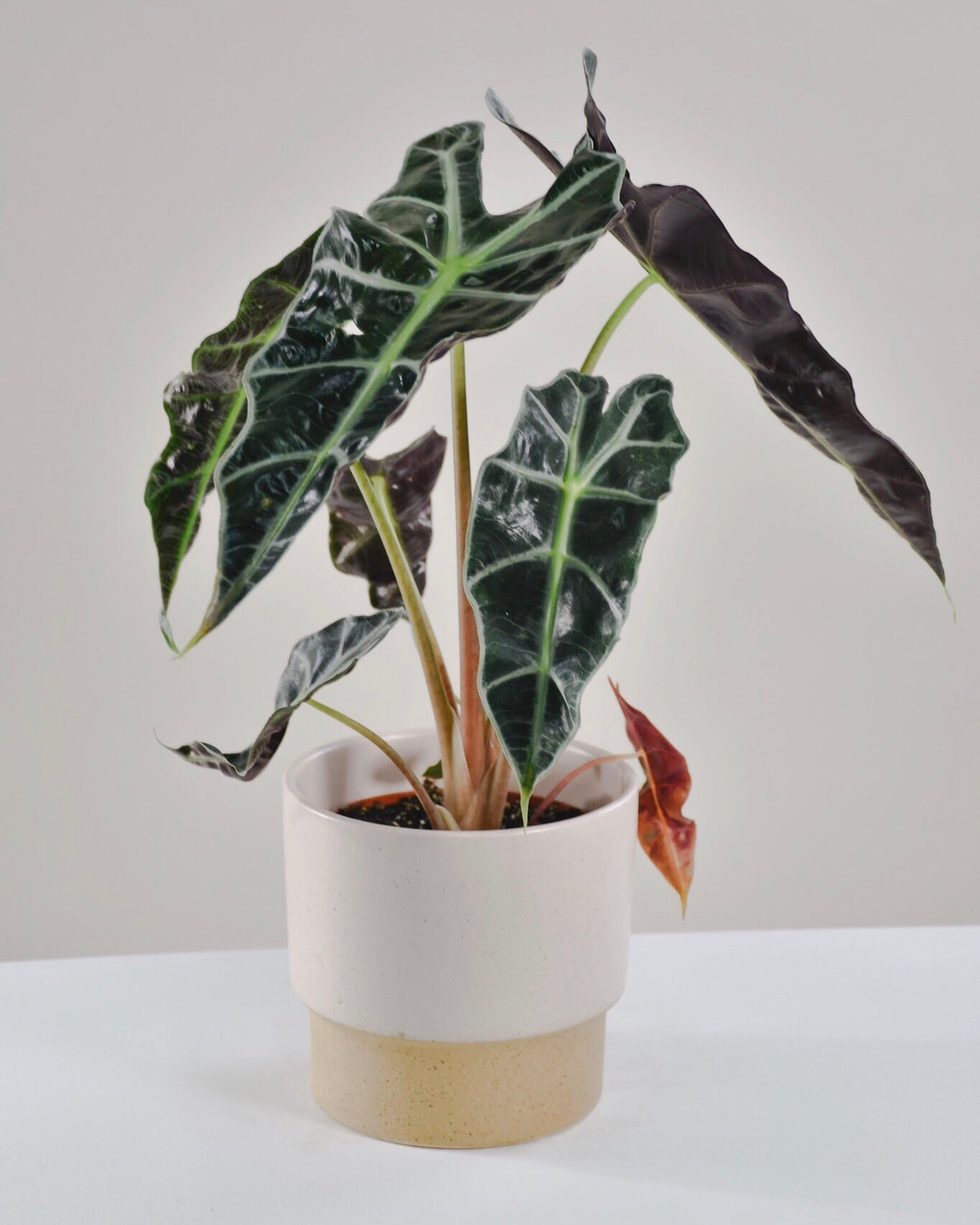 Alocasia « Polly »