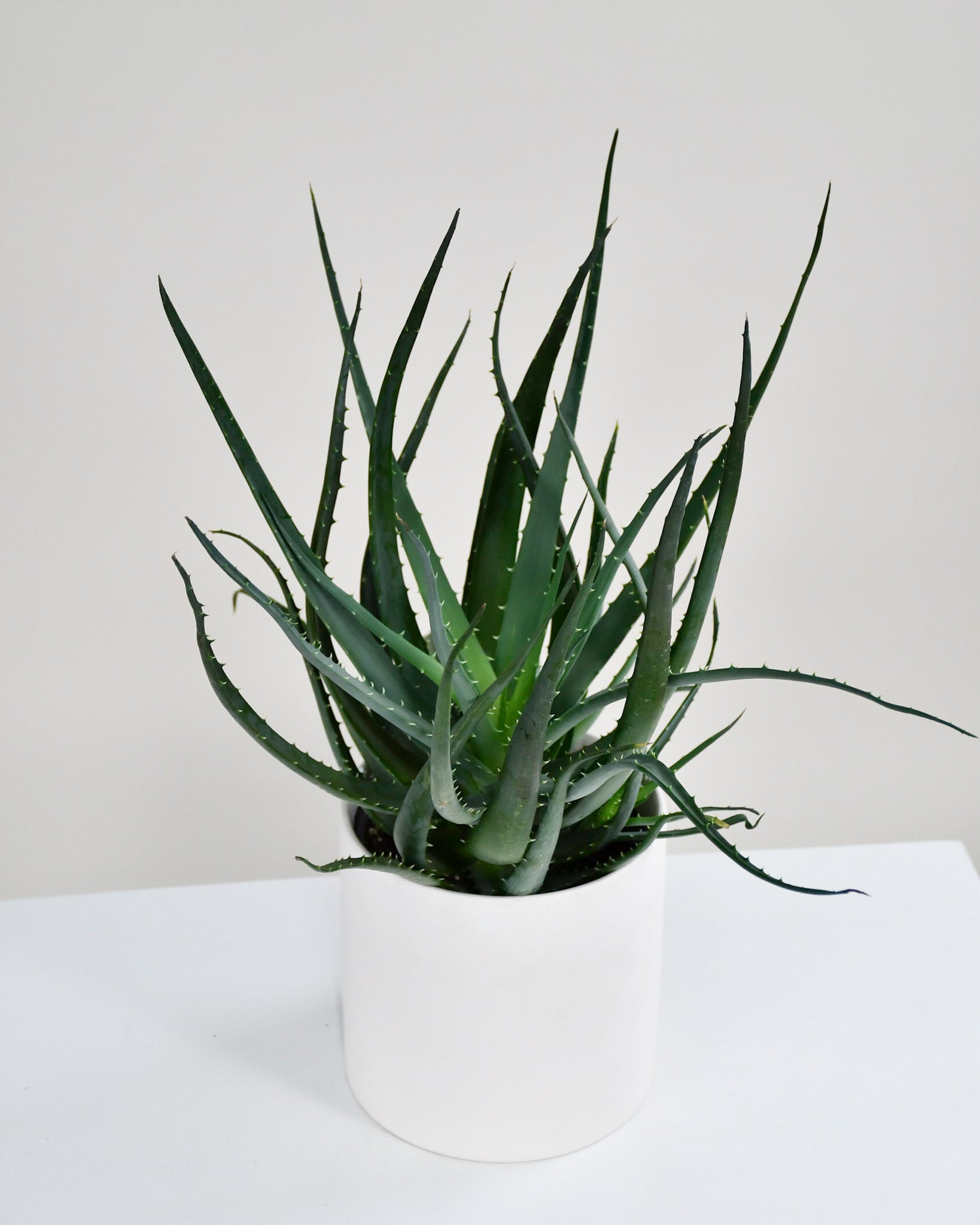 Aloes « Arborescent »