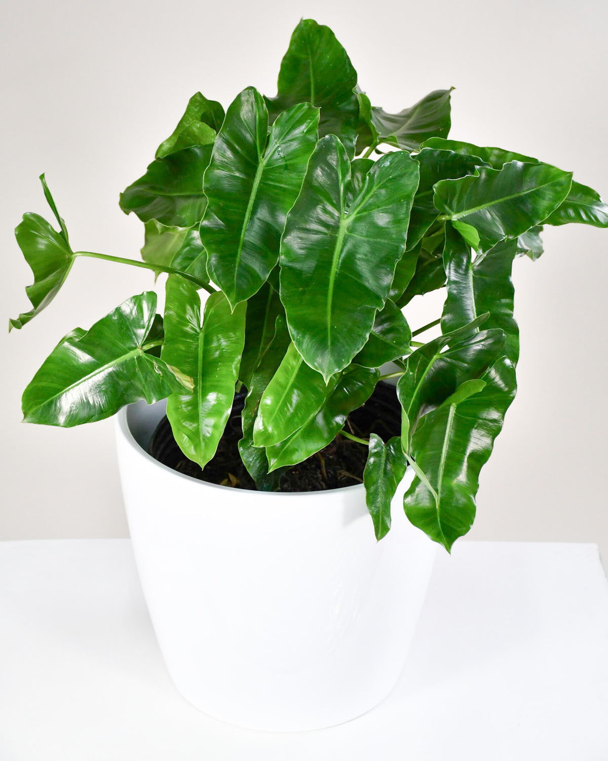 Philodendron « Burle Marx »