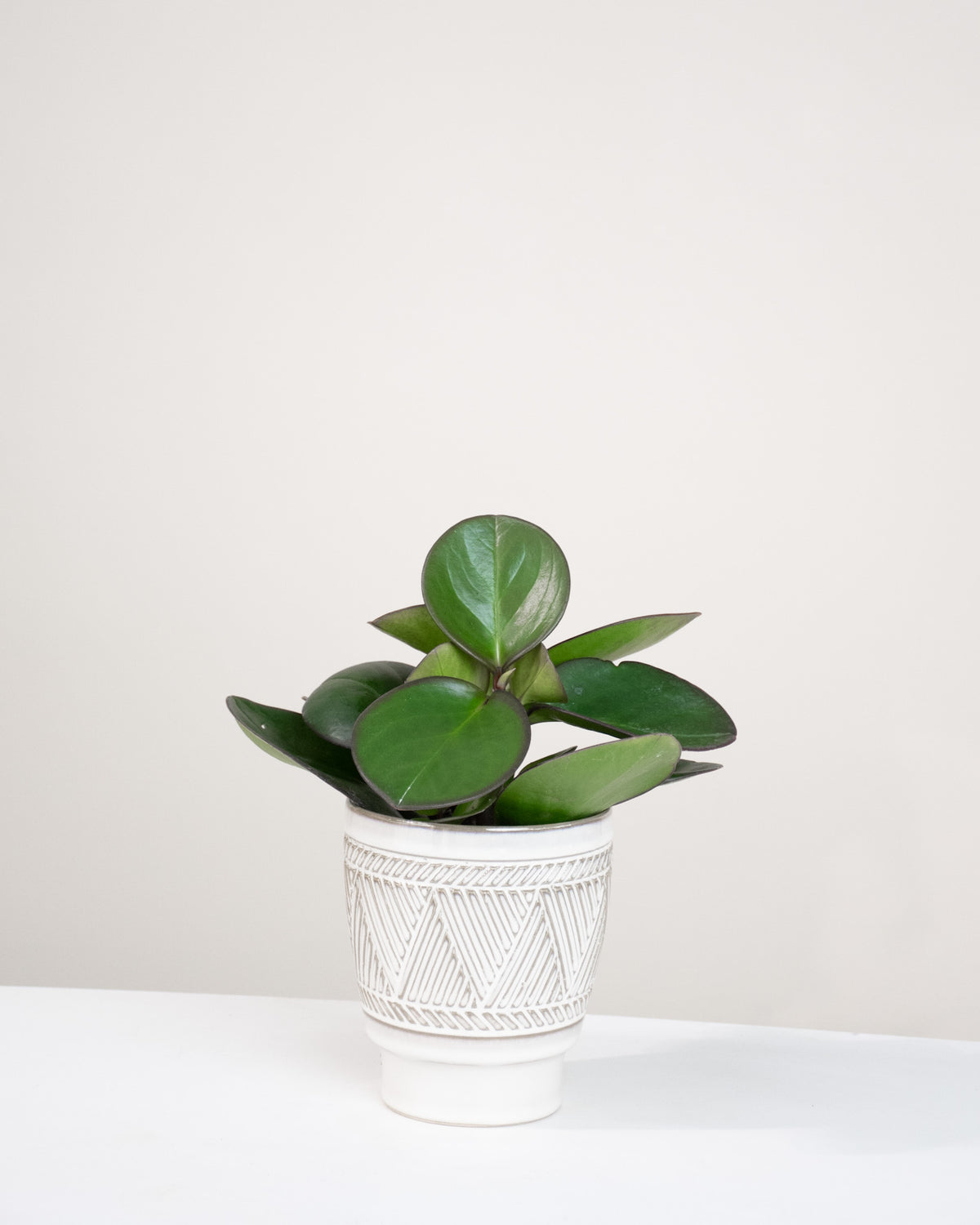 Peperomia obtusifolia « Red Edge »