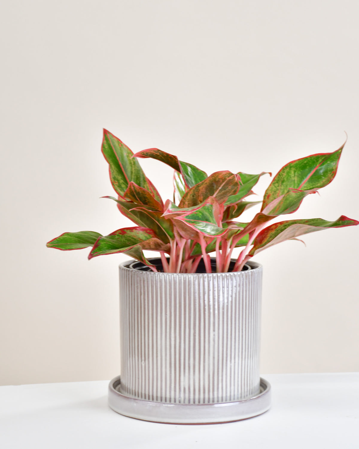 Aglaonema « Red Siam »