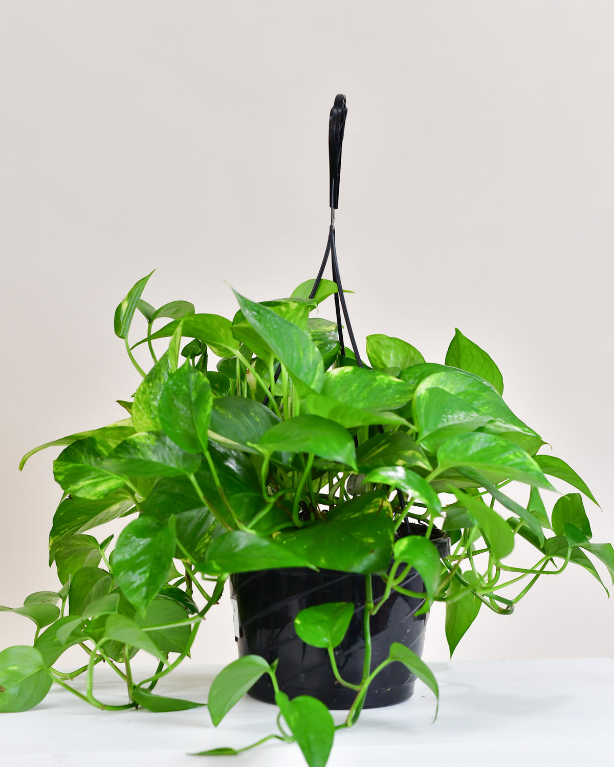 Pothos « Golden »