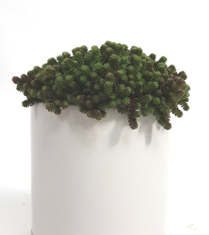 Senecio Rowleyianus « String of Pearls »
