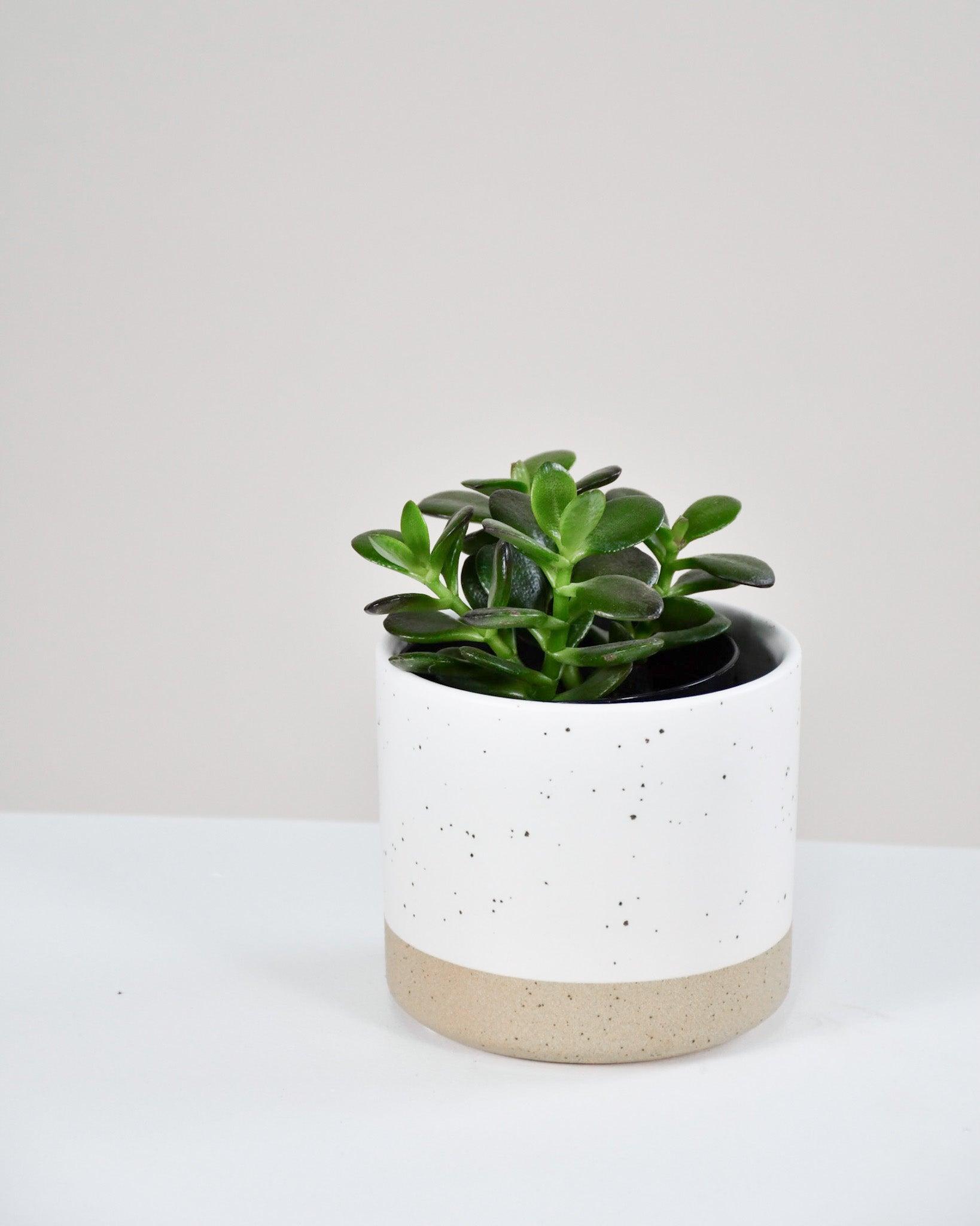 Crassula Ovata '' Minor'' - 3.5''