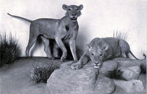 The Tsavo Man-Eaters