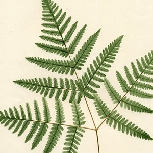 Plants: Ferns