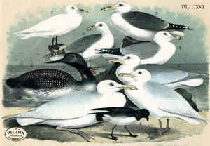 Birds Pdxc14162 Color Illustration
