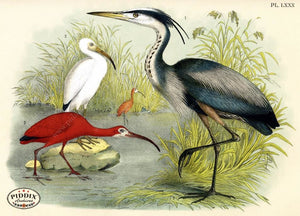 Birds Pdxc3172 Color Illustration
