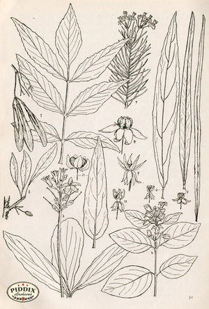 Black & White Leaves Pdxc11418 Engraving