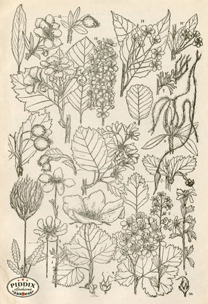 Black & White Leaves Pdxc11420 Engraving