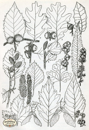 Black & White Leaves Pdxc11422 Engraving