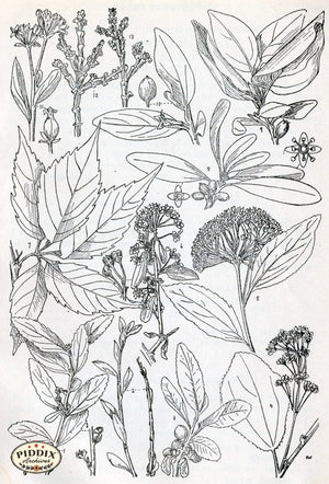 Black & White Leaves Pdxc11426 Engraving