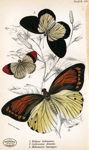 Butterflies Pdxc4401 Color Illustration