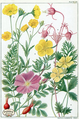 Flowers Pdxc11406 Color Illustration