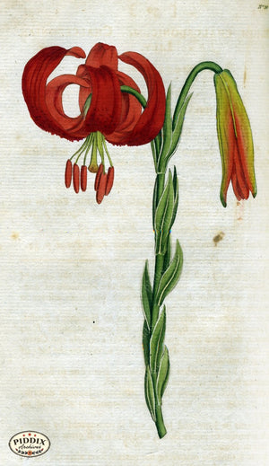 Flowers Pdxc1743 Color Illustration