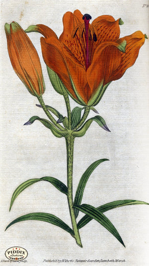 Flowers Pdxc1745 Color Illustration