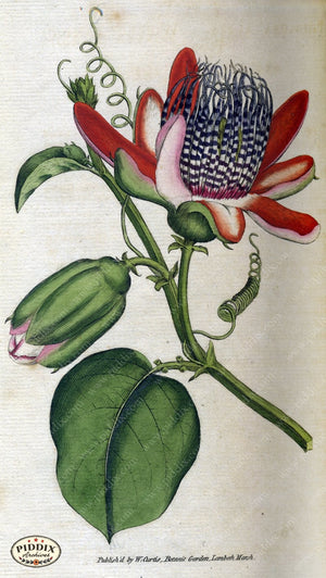 Flowers Pdxc1759 Color Illustration
